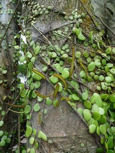 Dragon's Scale fern (Pyrossia piloselloides) Unusual Plants, Rare Plants, Exotic Plants, Cool Plants, Dragon Garden, Townhouse Garden, Platycerium, Rock Garden Plants, Fern Plant