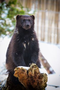 """""""Wolverine"""" by Martin Frehe Wolverine Pictures, Wolverine Animal, Animals And Pets, Cute Animals, North American Animals, Dangerous Animals, Honey Badger, Wolf, Wolverines"""