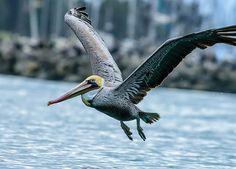 patti pelican and the gulf oil spill - Google Search