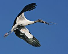 """Wood Stork - Mycteria americana - This large American wading bird is of the family Ciconiidae - This bird belongs to the stork family, but its head closely resembles that of the ibis - Its wingspan is 58-71"""" (140-180 cm), a height of 33-45"""" (83-115 cm) with females weighing 4.4-6.2 lb (2.0- 2.8 kg) and males 5.5-7.3 lb (2.5-3.3 kg)"""