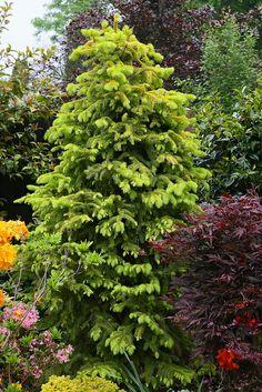 Picea abies 'Aurea Magnifica' (Magnificent Golden Norway Spruce)