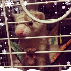 This is Mikra with the new sticker snowflakes, way too cute! #Ferret #Snowflakes