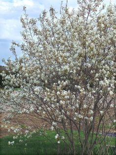 Amelanchier laevis (smooth serviceberry, smooth shadbush): Go Botany Purple Flowers, White Flowers, Michigan Landscaping, Tree Sale, Wild Creatures, Types Of Soil, Fantasy Inspiration, Landscaping Plants, Red Berries