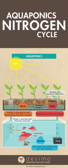 "Aquponics is easy, don't be put of by this complex infographic. Share this infographic on your site. <p><a href='http://www.desima.co/blog/2016/3/2/aquaponics-nitrogen-cycle'><img src='http://static1.squarespace.com/static/5582f798e4b0e8fc7ea52d4c/t/56d67ef11bbee0e73ade54f7/1456897794523/Aquaponics+Nitrogen+Cycle?format=750w' alt='Aquaponics Nitrogen Cycle' width='540' border='0' /></a></p><p>Infographic by <a href=""http://www.desima.co"">www.desima.co</a></p></strong> Featured May..."