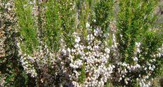 Βοτανα Ρείκι: Ιδιότητες, θεραπευτικές δράσεις και τρόποι χρήσης Horticulture, Bing Images, Herbs, Landscape, Plants, Spices, Gardens, Scenery, Spice