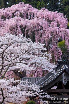 'Sakura' (cherry blossoms) at Fukuju Temple, Miharu, Fukushima, Japan Beautiful World, Beautiful Gardens, Beautiful Flowers, Beautiful Places, Beautiful Pictures, Beautiful Scenery, Amazing Places, Sakura Cherry Blossom, Cherry Blossoms