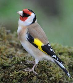 Visit our new-look Galleries to view and search images of thousands of bird species, and join our worldwide community of bird photographers World Birds, All Birds, Little Birds, Exotic Birds, Colorful Birds, Pretty Birds, Beautiful Birds, Stieglitz Vogel, British Wildlife
