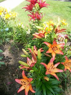 Multicolored lilies