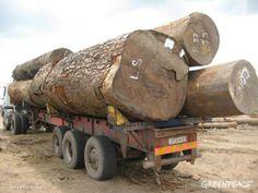 TÉMĚŘ VEŠKERÁ TĚŽBA DŘEVA V DEMOKRATICKÉ REPUBLICE KONGO JE ILEGÁLNÍ Říká to nová zpráva britské think tank instituce Chatham House. Tato země je domovem druhého největšího deštného pralesa na světě. Pokud se údaj 87 % nezačne co nejdříve snižovat, pak kdo ví, jaký chaos a smutné statistiky nás ještě čekají…   ČTĚTE VÍCE NA www.bit.ly/tezba-dreva-v-drc-se-vymyka-kontrole