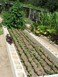 This is a view of the bean bed. The type of drip irrigation being used here is a soaker hose that is perforated.   If you place it along a row, it will irrigate row crops very nicely.    If you place it 9″ apart in a bed, it will water the whole bed.   he carrots corn, squash, and onions are also watered using this style of drip irrigation.   The rest of the garden is irrigated using individual emitters for each plant.