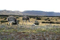 Chile Chile Accéder au site pour information Ostrich Bird, Ostriches, Flightless Bird, Darwin, Birds, Mountains, Travel, Animals, Beautiful