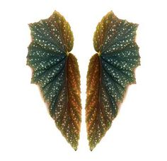 Angel wing begonias have leaves that resemble wings. Herb Garden, Garden Plants, House Plants, Begonia, Types Of Houseplants, Perennial Flowering Plants, Flying Flowers, Garden Care, Outdoor Plants