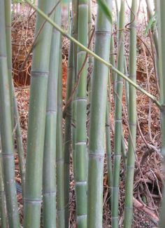 Getting bamboo under control is not easy
