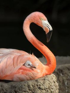 562 Best Flamingos Images On Pinterest In 2018 Exotic Birds
