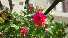 #Roses #light