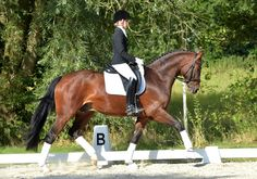 Great Gatsby, Gelding - German Horse Center