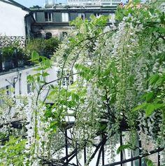 #white #blossom #milano