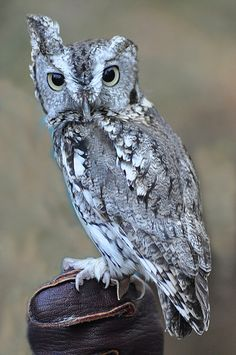 Van Gogh - one of our Screech Owls