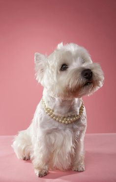 West Highland Terrier Wearing Pearl Necklace