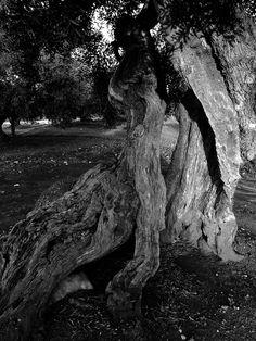Ulivo del Salento  http://www.nelsalento.com/blog/regione-bella-mondo-puglia-salento/