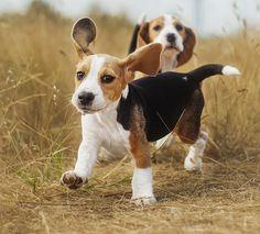 best hunting beagle names
