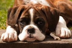 Raças de Cachorro: Boxer