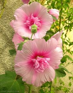 Pink Hibiscus pink flowers pretty garden pastel hibiscus