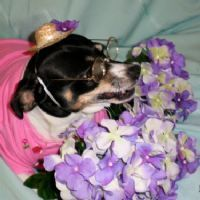 SadieMae  @ YouPet.com ...rat terrier mix