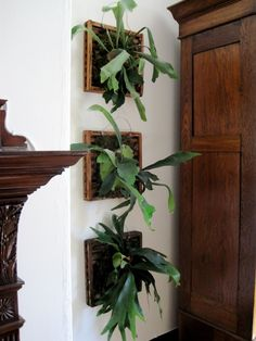 mounted staghorn ferns - I've never seen them in a house - always a green house or outside in the south...you need to take them down once a week and water them in the bathtub...let them dry out a few hours and rehang them!