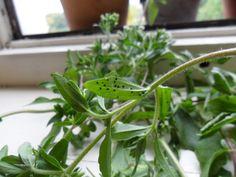 Pěstování stévie - Stévie sladká, Stevia Rebaudiana Bertoni Stevia, Herbs, Herb, Medicinal Plants