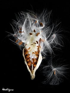 Common Milkweed - Asclépiade commune milkweed seed pod - gotta put some of these in the front wildfl Photo Images, Photo Stock Images, Cosmic Egg, Milkweed Plant, Seed Art, Weed Seeds, Organic Seeds, Seed Pods, Macro Photography