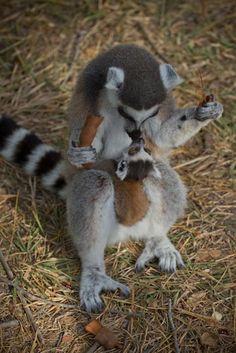 Baby Lemur from Madagaskar Primates, Mammals, Cute Creatures, Beautiful Creatures, Animals Beautiful, Cute Baby Animals, Animals And Pets, Funny Animals, Strange Animals