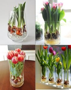 How to grow tulips in vase ?  Do you want to have one in the room ? :)  Check out ---http://wonderfuldiy.com/wonderful-growing-tulips-in-vase/