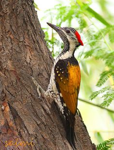 The Black-rumped Flameback | Flickr - Photo Sharing!