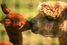 Alpacas - mother and baby kissing