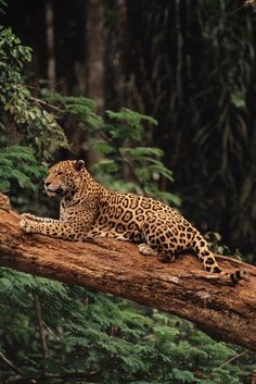 Jaguar, Panthera onca, Brazil  Location:Brazil  Photographer:FRANS LANTING/ National Geographic Stock