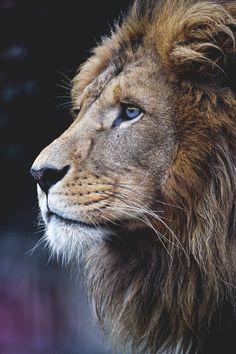 New African Animal Art Wildlife Big Cats 62 Ideas Nature Animals, Animals And Pets, Cute Animals, Wild Animals, Baby Animals, Beautiful Cats, Animals Beautiful, Majestic Animals, Lion Profile