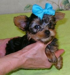 Teacup Yorkshire Terrier Puppies Healthy Outstanding Yorkies puppies they are gorgeous pups with a personality to match. also up to date on all of vaccinations and vet checked from head to tail, Yorkshire Terrier Puppies, Yorkies, Teacup, Personality, Canada, Healthy, Free, Animals, Animais