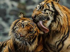 """Kitty kisses! How would you like a big wet one from this fur ball? """"My Love"""" by Eko Sadewo."""