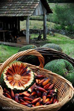 Isto sao sementes de  Araucaria. Isto e muito bom, voce pode cozinhar com agua,e depois voce pode comer. Nos chamamos isto de  pinhão.