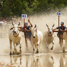 Unidentified jockeys steer bulls across the muddy paddy field in the race of 'Don Ta' festival (ancestral festival of Khmer Krom people) on Oct 4, 2013 in Chau Doc. #vietnam   #vietnamese   #Khmer   #ethnicity   #minority   #culture   #agriculture   #festival   #traditional   #community   #spirituality