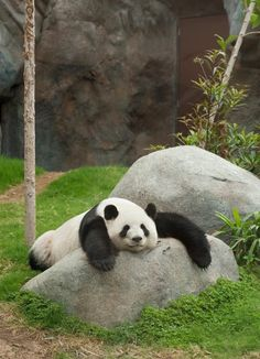 16 Amazingly Cute Pictures Of A Baby Panda - Pandas - Tierbilder Bear Pictures, Animal Pictures, Cute Pictures, Funny Panda Pictures, Panda Funny, Cute Funny Animals, Cute Baby Animals, Lazy Animals, Wild Animals