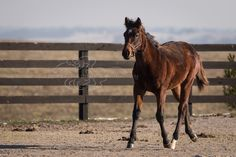 Awesome Again's colt exploring the enclosure and stretching his legs