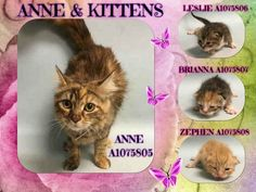 ANNE & KITTENS - A1075805, A1075806, A1075807, A1075808 - - Manhattan  Please Share:   ***TO BE DESTROYED 06/05/16*** ANNE AND KITTENS WERE FOUND, THEN KEPT FOR A WEEK UNTIL FINDER DECIDED SHE COULDN'T KEEP, SO BROUGHT THEM TO THE ACC IN A BAG! AND to make it worse.. ONLY kittens, BRIANNA, ZEPHEN AND LESLIE ARE LISTED… NOT THE MOM! However, you can still FOSTER all if you want! But the 2 week olds need a someone to contact a NEW HOPE RESCUE and offer to FOSTER.