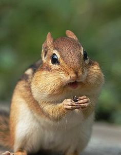 Chipmunks are so cute! Hamsters, Rodents, Chinchillas, Animals And Pets, Baby Animals, Funny Animals, Cute Animals, Beautiful Creatures, Animals Beautiful