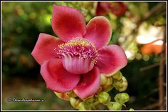 """This large deciduous tropical tree, 75' tall and indigenous to the Amazon rainforest, is listed as a rare tree and flower in India. The leaves, up to 6"""" long, are simple with serrate margin; it flowers in racemes which is cauliflorus; the yellow, reddish and pink flowers are stunning fragrant. These are 3"""" to 5"""" waxy aromatic smelling, pink and dark-red flowers growing directly on the bark of the trunk.   Cannon ball flowers are considered of special significance in Buddhis..."""