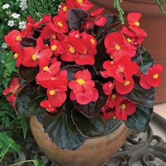 Buy Begonia Dwarf Online from Garden Crossings Online Garden Center. Shop from our huge selection of old favorites and hard to find Annual plants. Winter Plants, Winter Flowers, Begonia, Growing Flowers, Planting Flowers, Flowers Garden, Order Plants Online, Prayer Garden, House Plants Decor