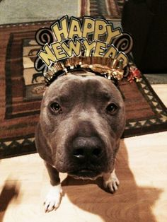 Happy Holidays / New Year #dogs #Puppy #JuniorMillan American Pit Bull Terrier Staffordshire Terrier Pitbull