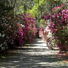 Celebrate the first official day of spring with a trip to Magnolia Plantation & Gardens in Charleston. Some sections of this family-owned garden have remained unchanged for more than 300 years, bearing witness to the property's transition from a slave-holding plantation to a Lowcountry tourist attraction. Visit now for camellia displays, or wait a few weeks for their famous azaleas. | via Travel + Leisure