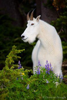 Mountain Goat, Olympic National Park, Washington, bill the billy goat,, photo